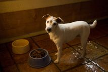 A dog stands before a dish in Bartlesville, Oklahoma. Canines can be territorial about resources, such ...