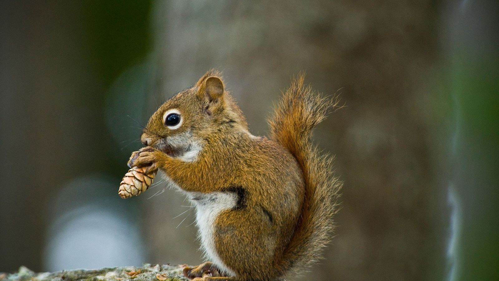An American red squirrel chews on a pine cone, its favourite food, in Maine's Acadia National ...