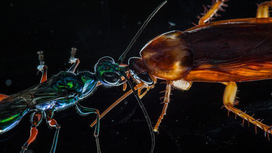 A recent study shows how cockroaches use kicks and other defensive moves to fend off their ...