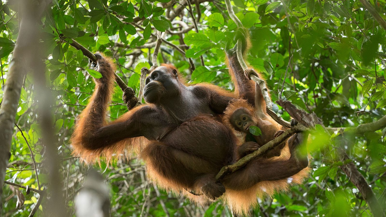 An 11-month-old Bornean orangutan hangs out with its mother.