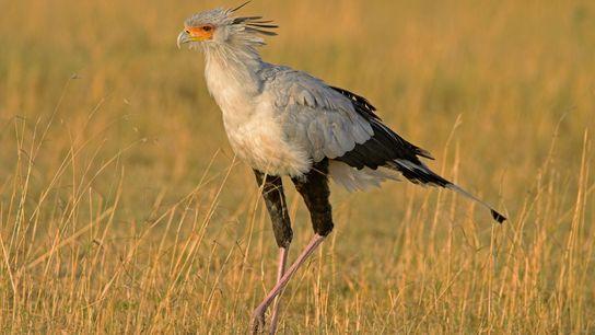 Secretary birds, like this one in Masai Mara National Reserve in Kenya, stalk their prey on ...