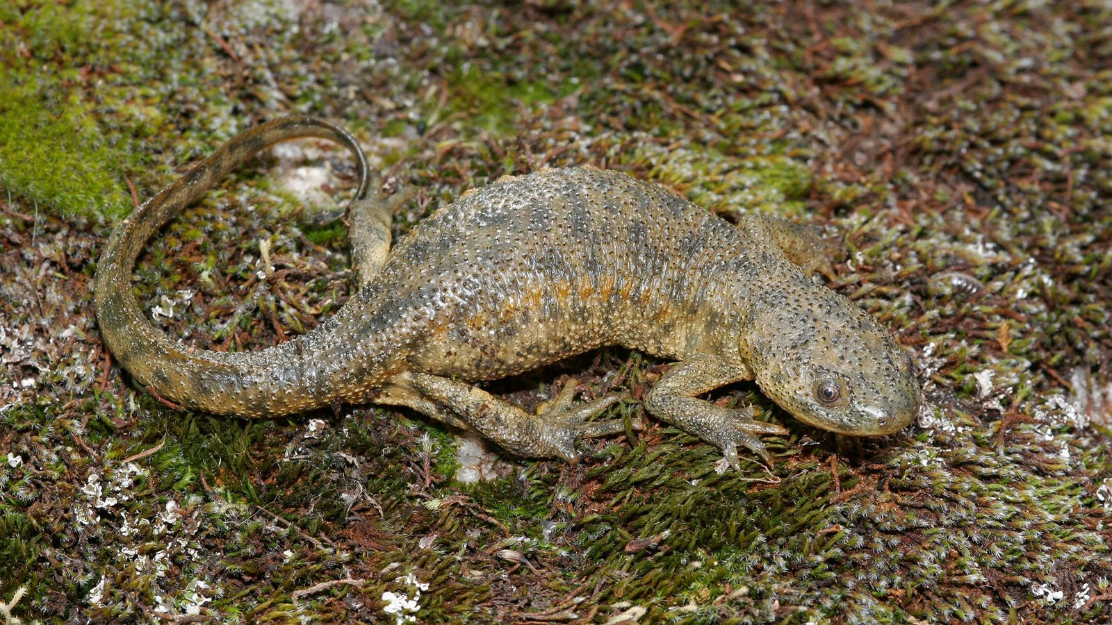 A Spanish ribbed newt freezes on a rock in Spain. The amphibian has a gory defense ...