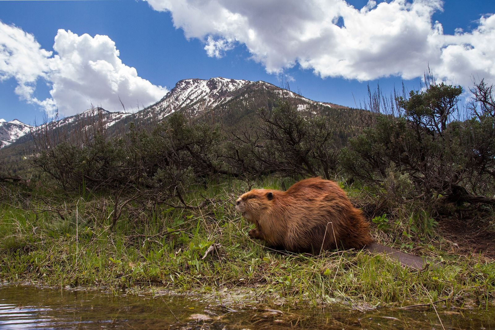 A North American beaver, Castor moves through a flooded canal in Montana's Cenntenial Valley.