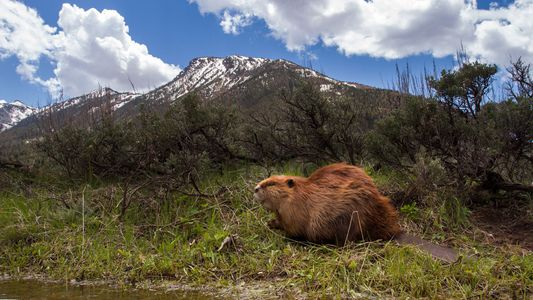 Beavers Have Vanilla-Scented Butts and More Odd Facts