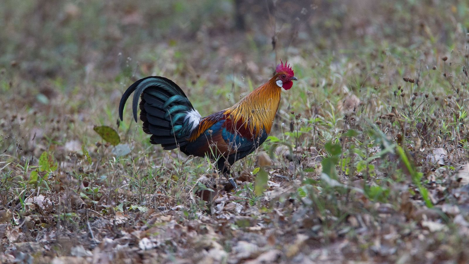 A red junglefowl roams India's Kanha Tiger Reserve. Domesticated chickens evolved from this species about 8,000 ...