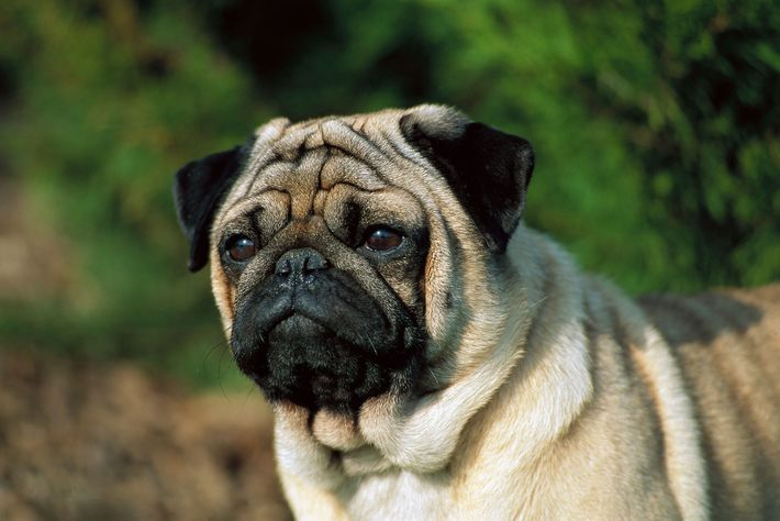 The royally adorable pug was an imperial Chinese favorite as far back as the first century ...