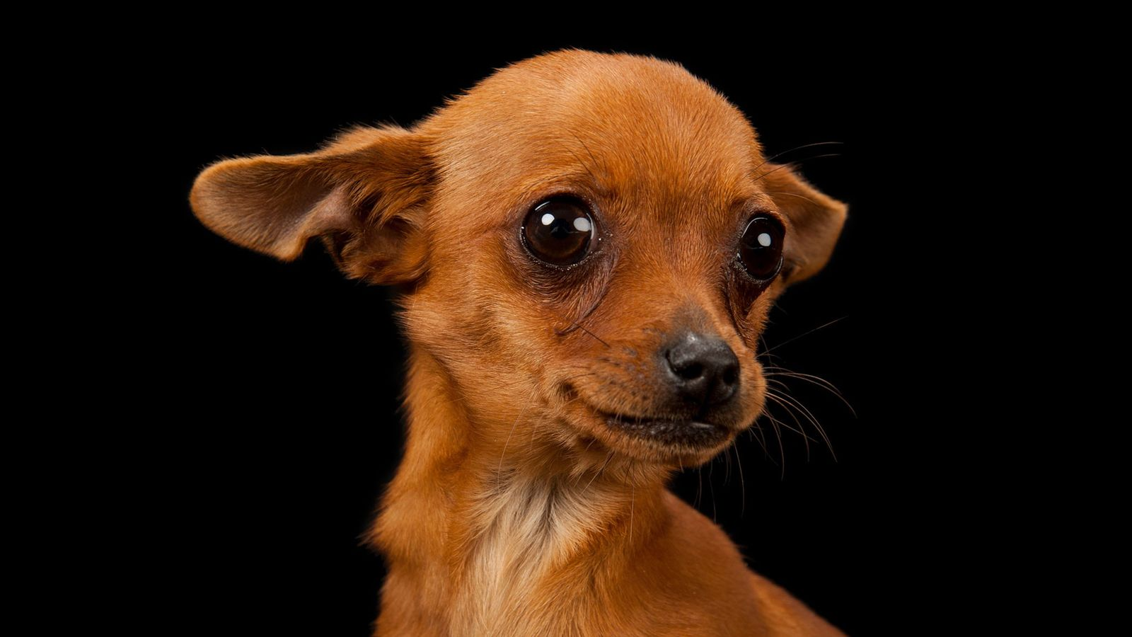 Cinny, a three-month-old Chiahuahua, poses for a portrait. Static buildup and a drop in barometic pressure ...