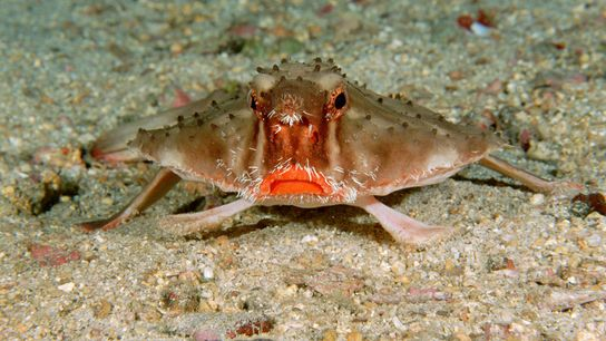 On the ocean floor in Cocos Island, Costa Rica, a red-lipped batfish is much more likely ...