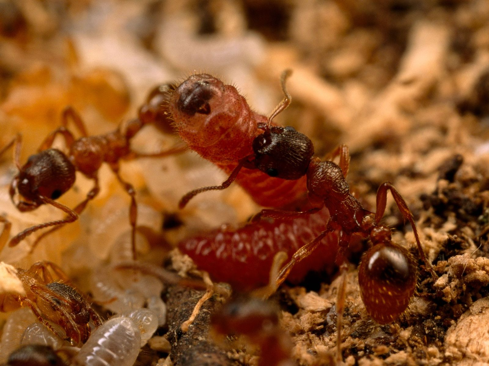 Myrmica ants care for an interloping Alcon blue butterfly larva.