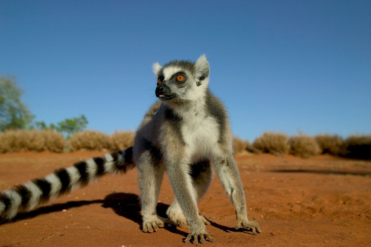 Is It Possible to Smell Weakness? Lemurs Can.
