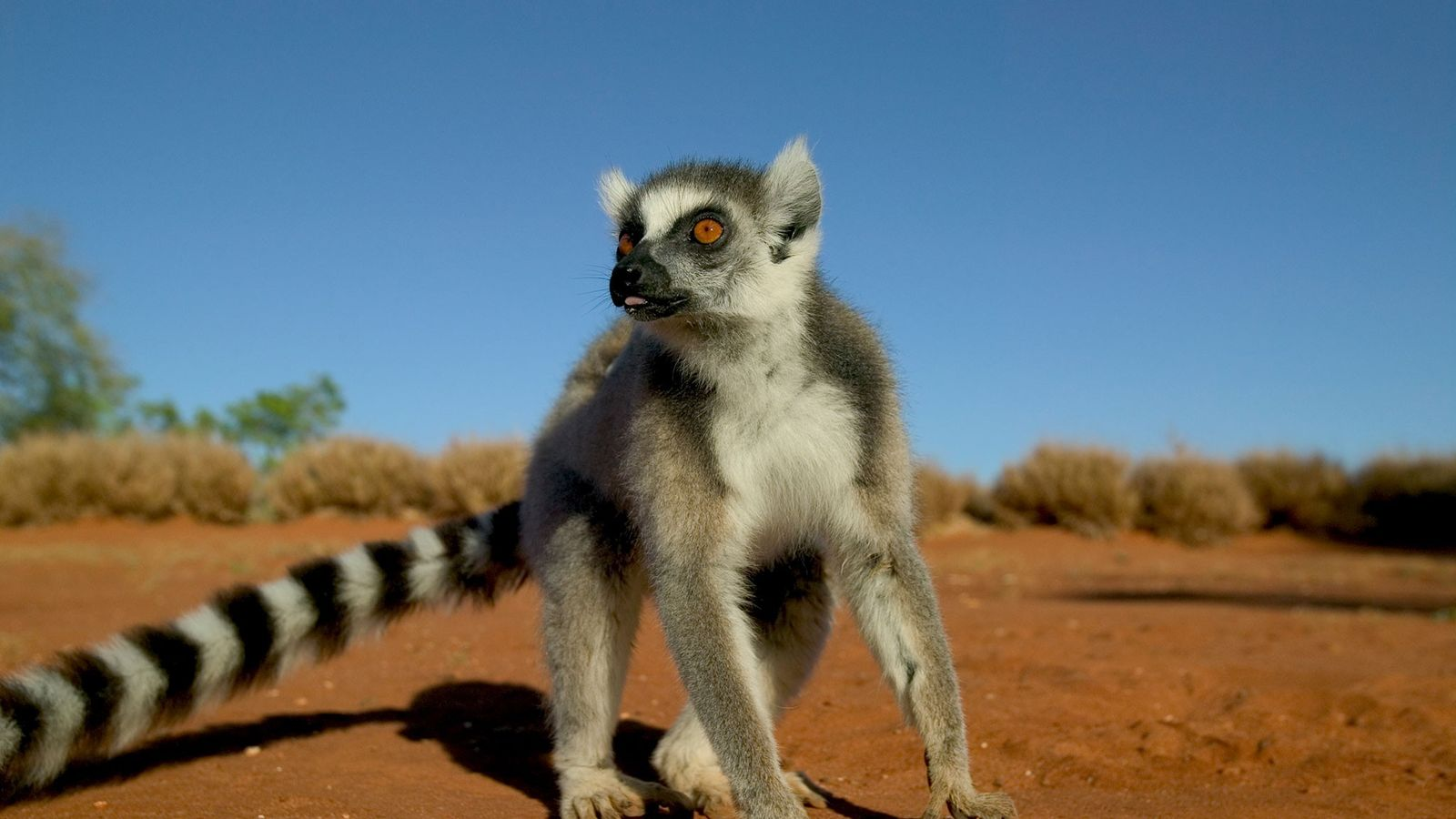When a male ring-tailed lemur like this one has been injured, he becomes vulnerable to losing ...