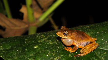 New Frog Species Named After Fabled Female Warriors