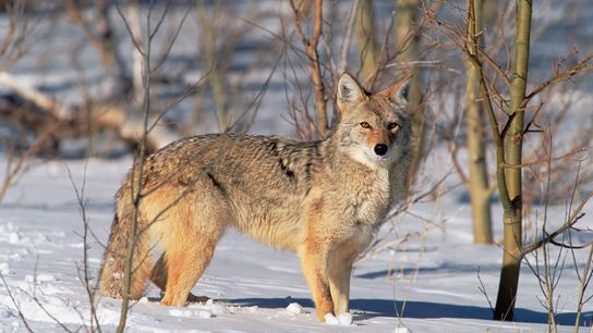 Lucky coyotes like this one in Allen's Park, Colorado, don't have to figure out how to ...
