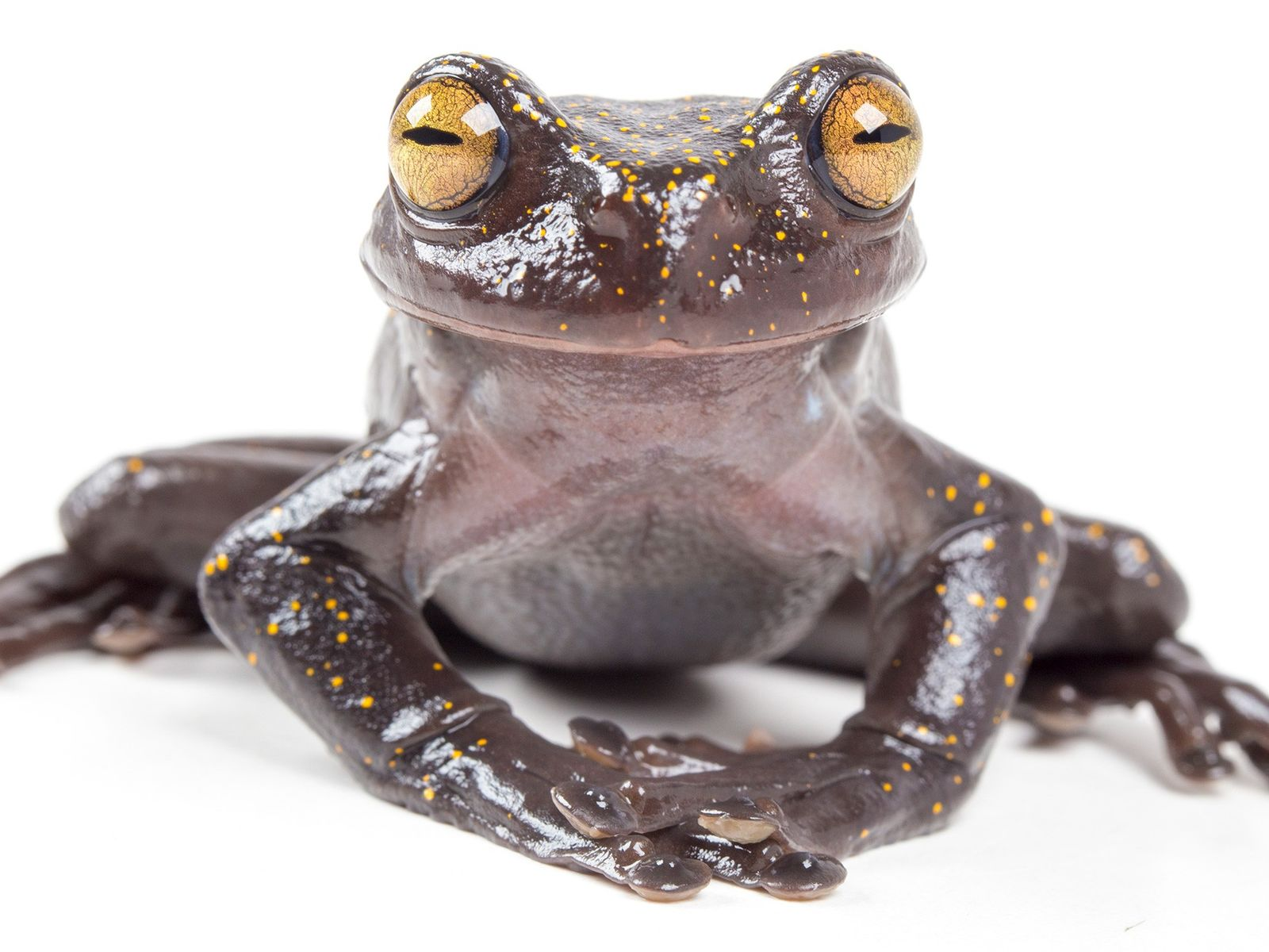 An adult of the recently discovered species 'Hyloscirtus hillisi' seems to smile for the camera.