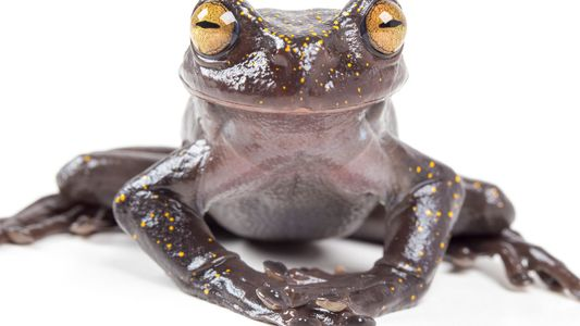 New frog species has special skin-puncturing claw