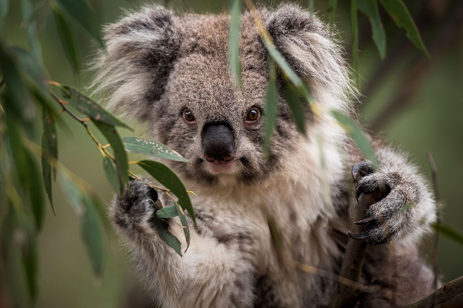 As Koalas Suffer From Chlamydia, A New Clue For Treatment