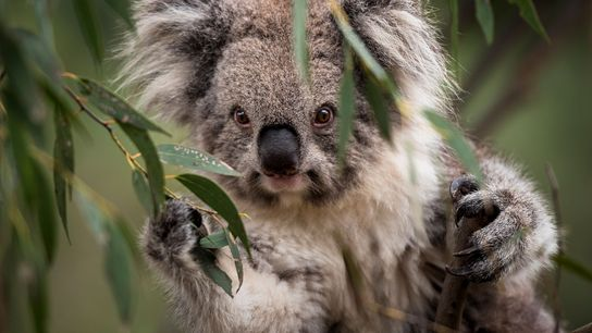 Koalas are declining in Australia due to habitat loss and human encroachment.