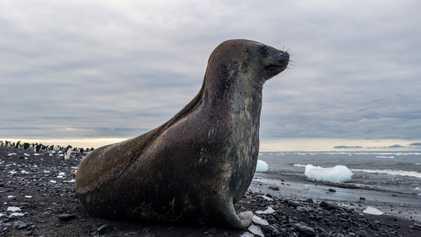 How a Wayward Antarctic Seal Ended Up on a Brazilian Beach
