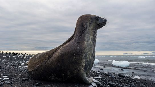 A Weddell seal rests on a volcanic beach in Antarctica in an undated file photograph.