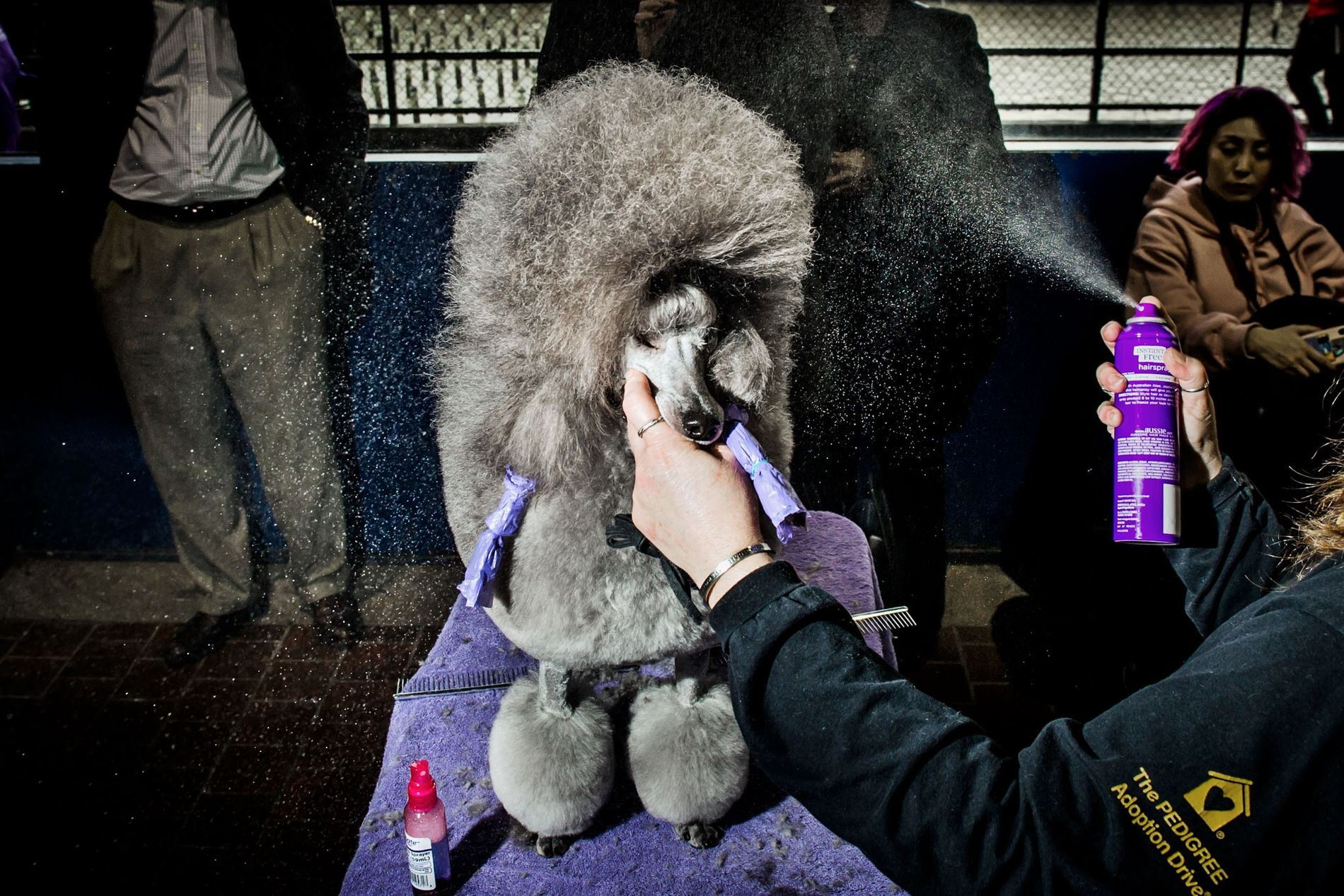 Savannah, a three-year-old poodle from Minnesota, gets spritzed with hair spray at the 142nd Westminster Dog ...