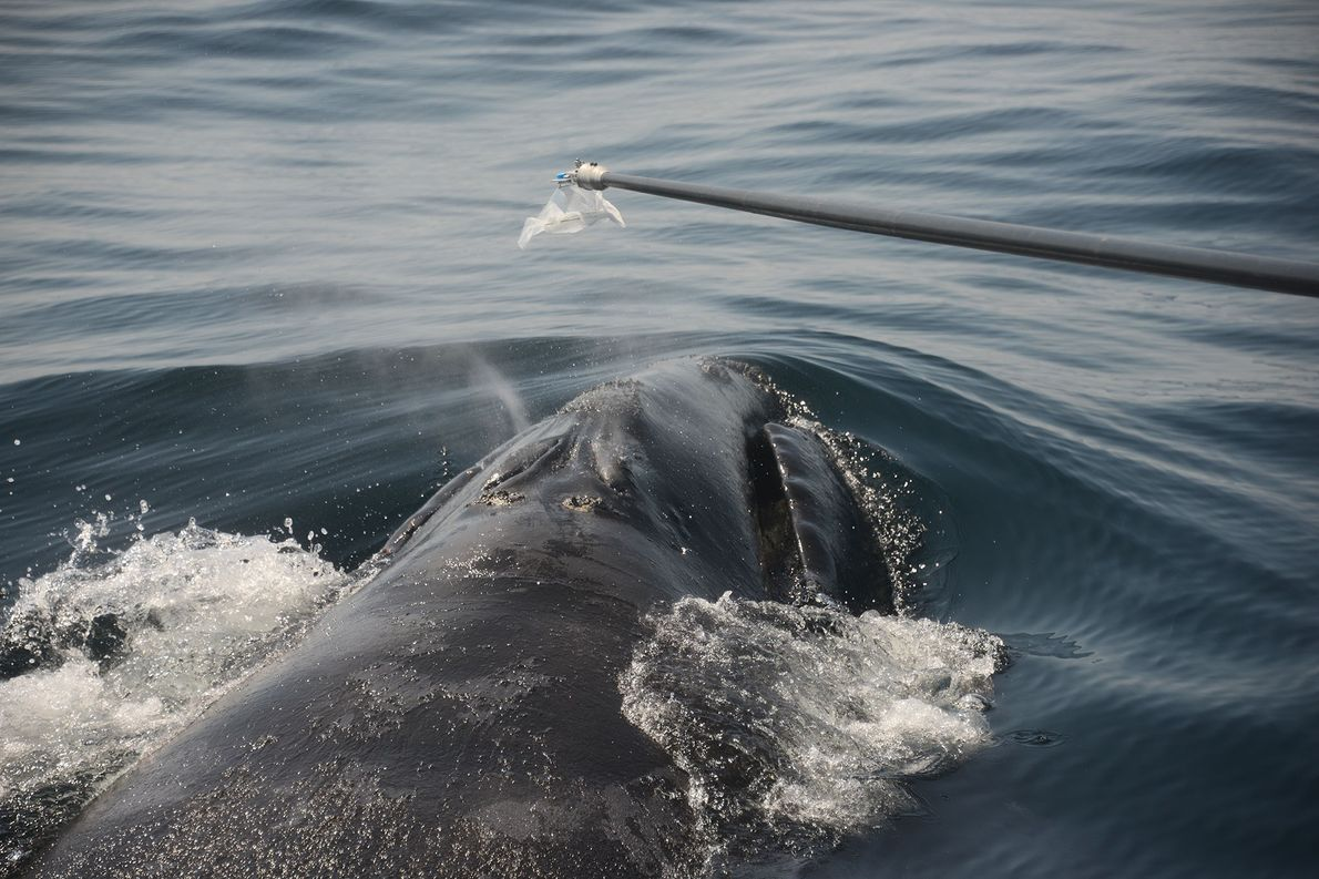 This unique device, similar in ways to a breathalyzer, can collect whale snot, to conduct scientific ...