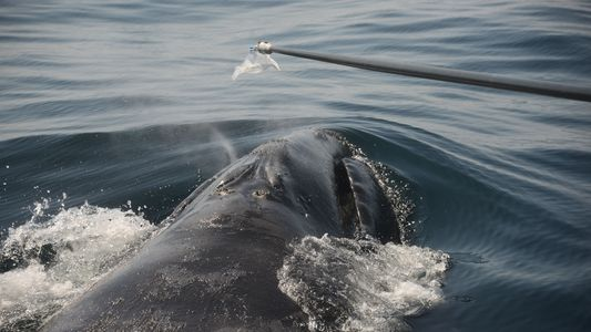 How Do You Study Endangered Whales? Collect Their Snot