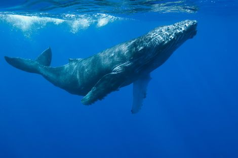 Whale earwax reveals their stress levels