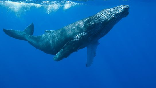 Measuring stress hormones in big whales such as this humpback is extraordinarily difficult, so scientists were ...