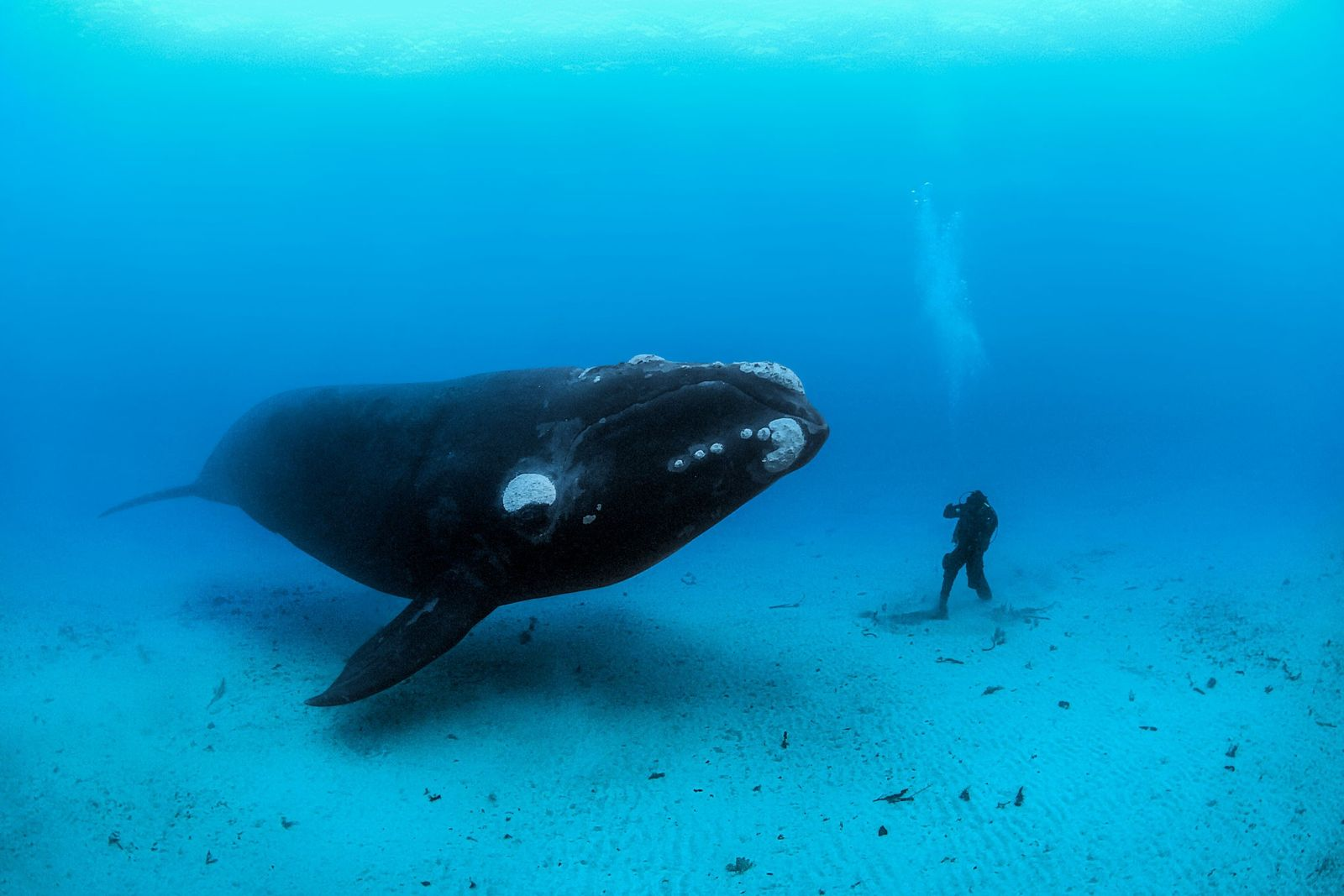 A southern right whale encounters a diver on the sandy sea bottom off the Auckland Islands, ...