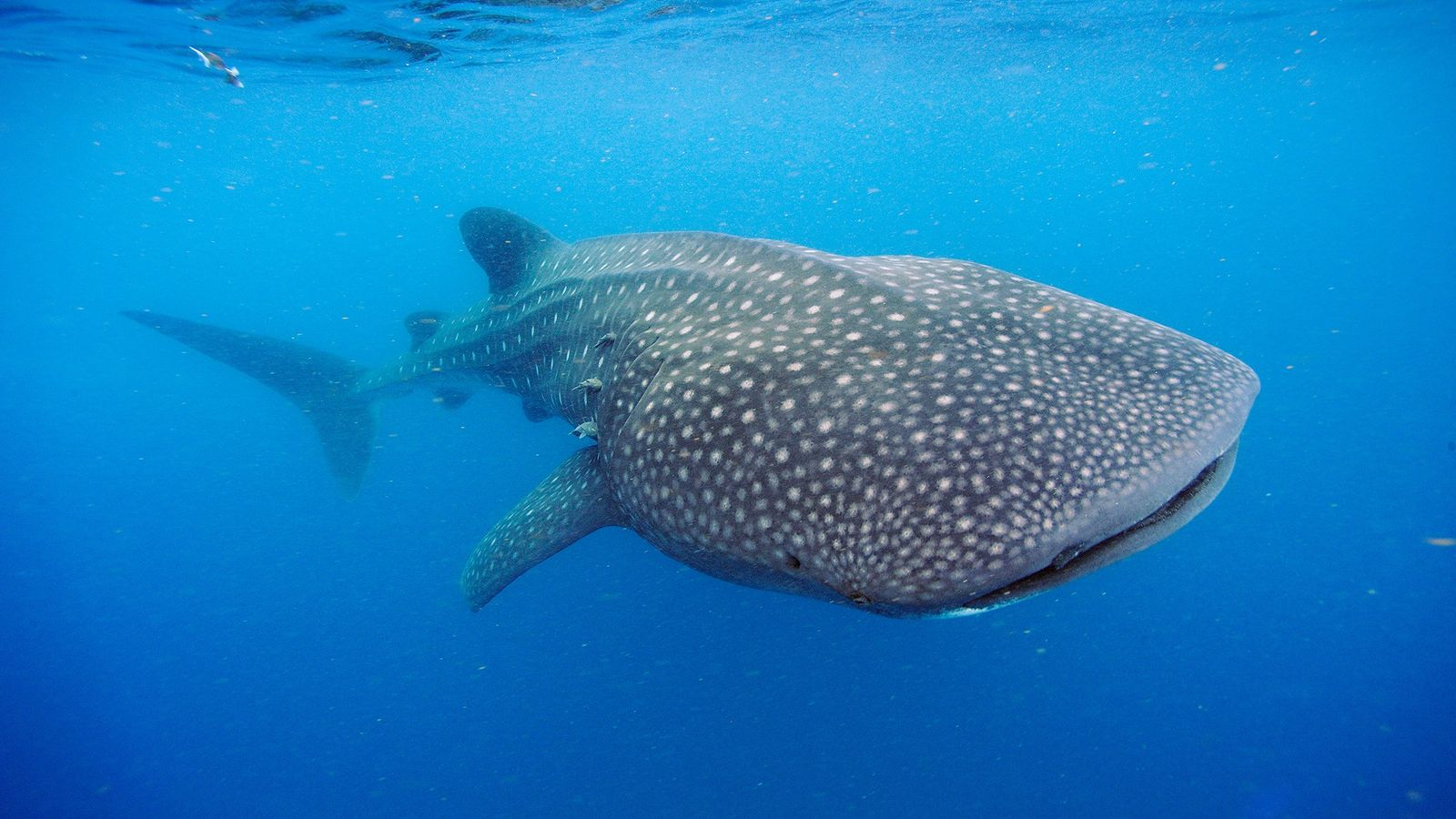 A whale shark swims off the Yucatán Peninsula. These ocean giants can weigh up to 50,000 ...