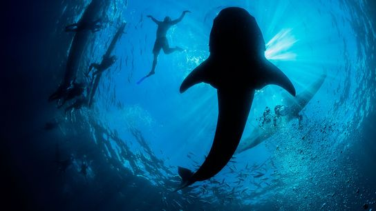 Whale shark viewing at Oslob, a popular tourism site in the Philippines, is facilitated by hand-feeding ...