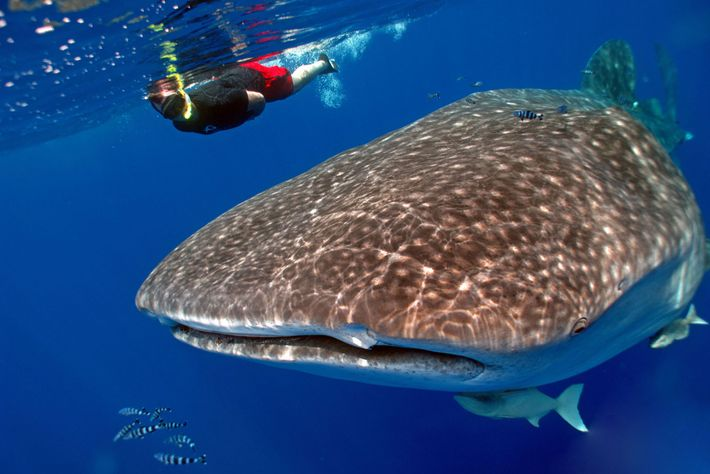 A snorkeller swims near a whale shark off St. Helena Island in the South Atlantic.
