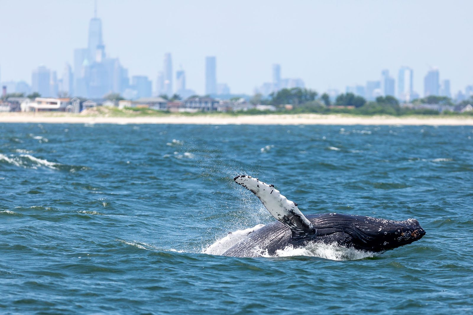 Whale populations in New York Harbour are booming—here's why