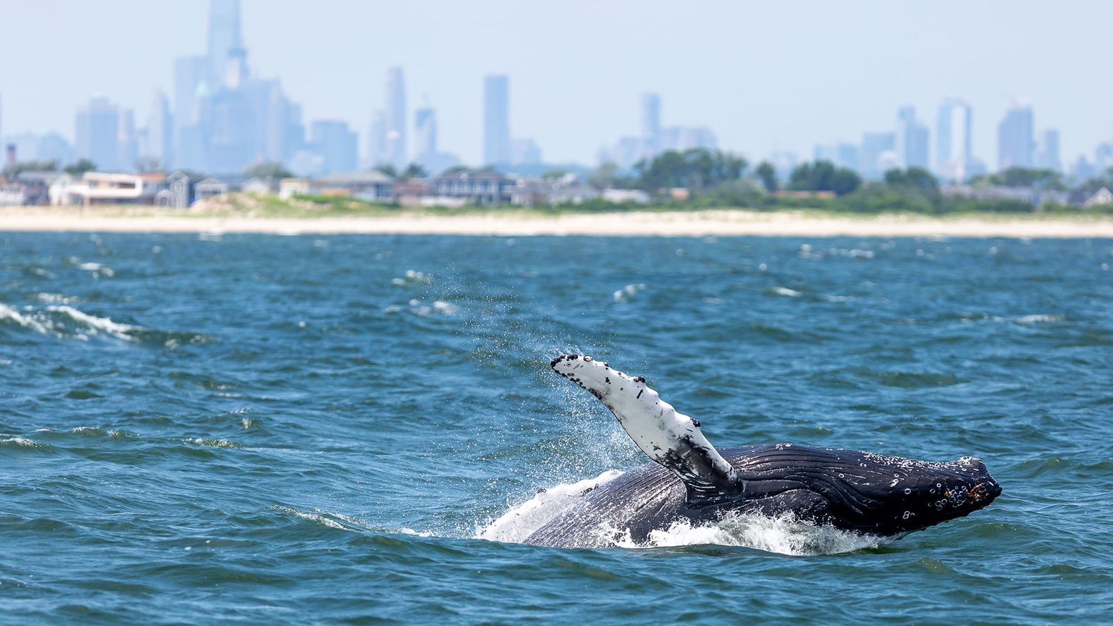 A humpback whale surfaces in New York Harbour, with the city's skyline in the background.
