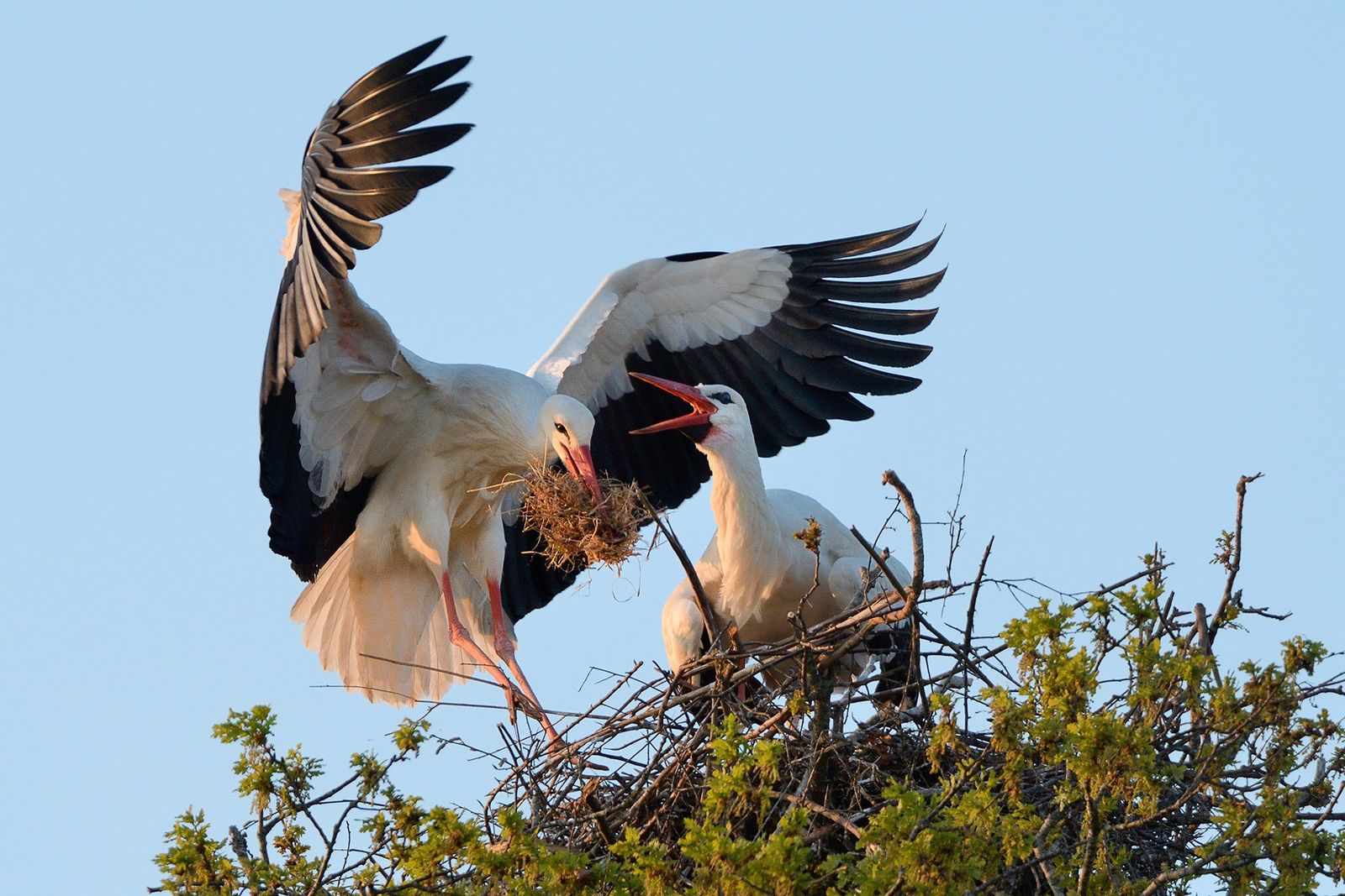 After 606 years, white storks are nesting in Britain again