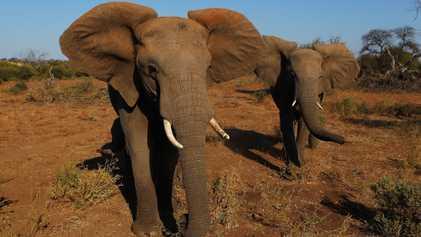 China Shuts Down Its Legal Ivory Trade