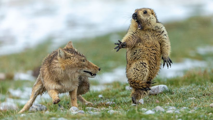 This rare image of a Tibetan fox and a marmot in the moment before attack won …