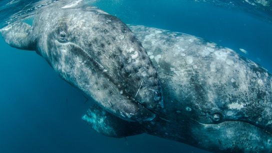 Grey whales historically were killed for blubber, oil, and meat, but decades of legal protection have ...