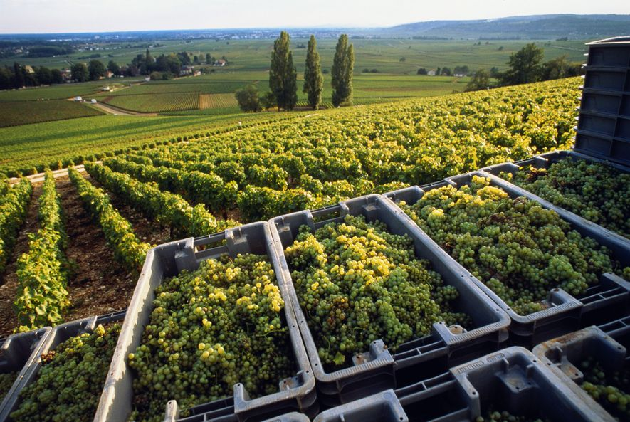 In Burgundy, chardonnay grapes are harvested several weeks earlier than they were a few decades ago.