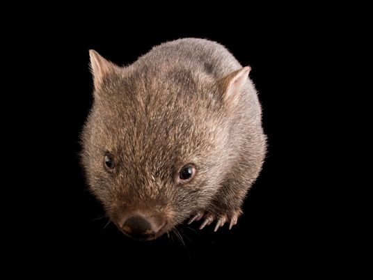 Why is wombat poo cube-shaped?