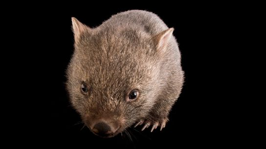 A young common wombat ('Vombatus ursinus tasmaniensus') at the Healesville Sanctuary. These animals produce some of ...