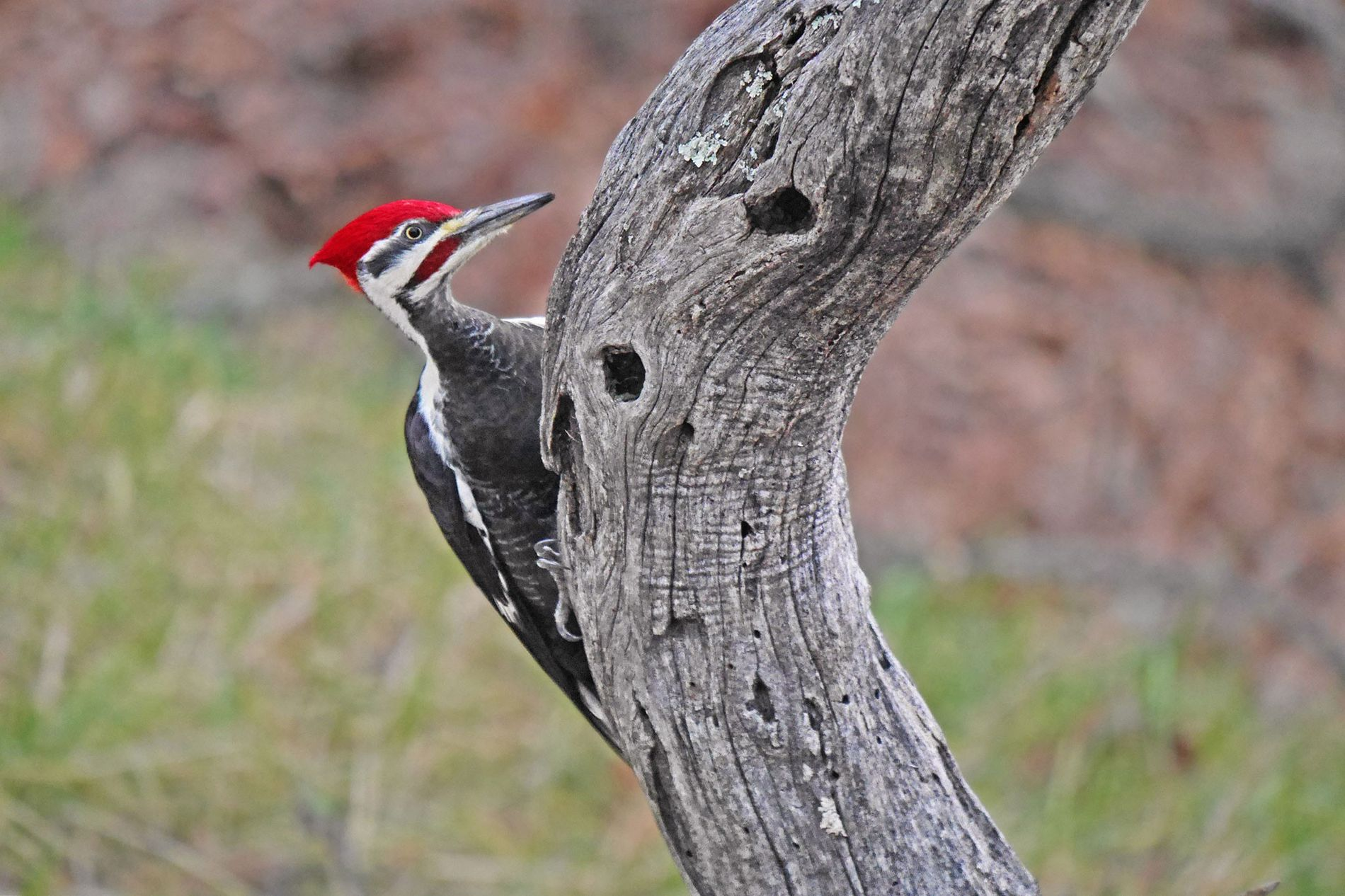 Pileated woodpeckers rely on dead trees, like this locust tree, to excavate holes to use for nesting.