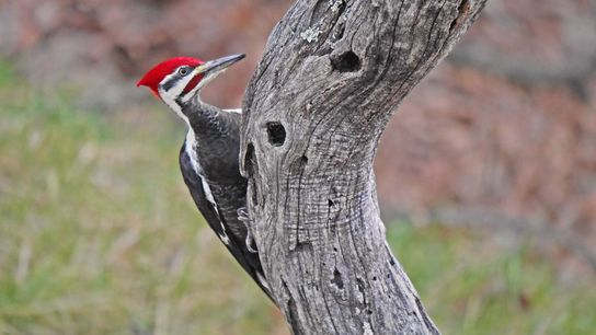Pileated woodpeckers rely on dead trees, like this locust tree, to excavate holes to use for ...