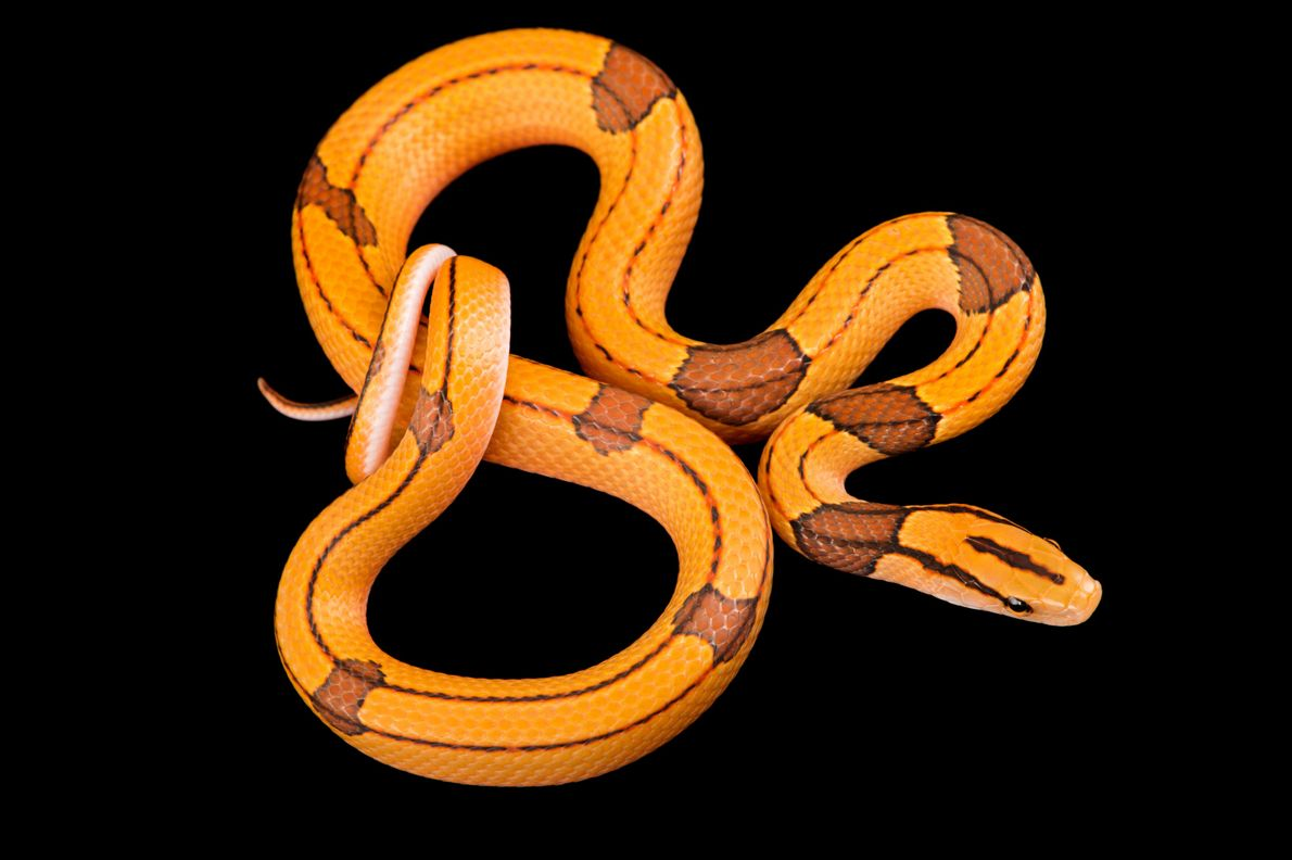 A red bamboo snake, 'Oreocryptophis porphyraceus vaillantii', from a private collection.