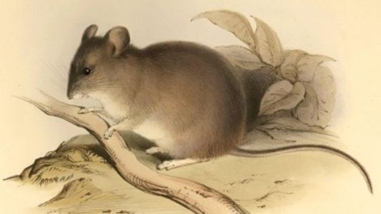 This mountaineering mouse is the world's highest-dwelling mammal