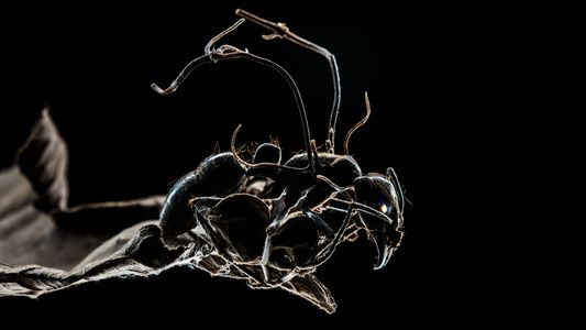 See What's Controlling These Zombie Ants