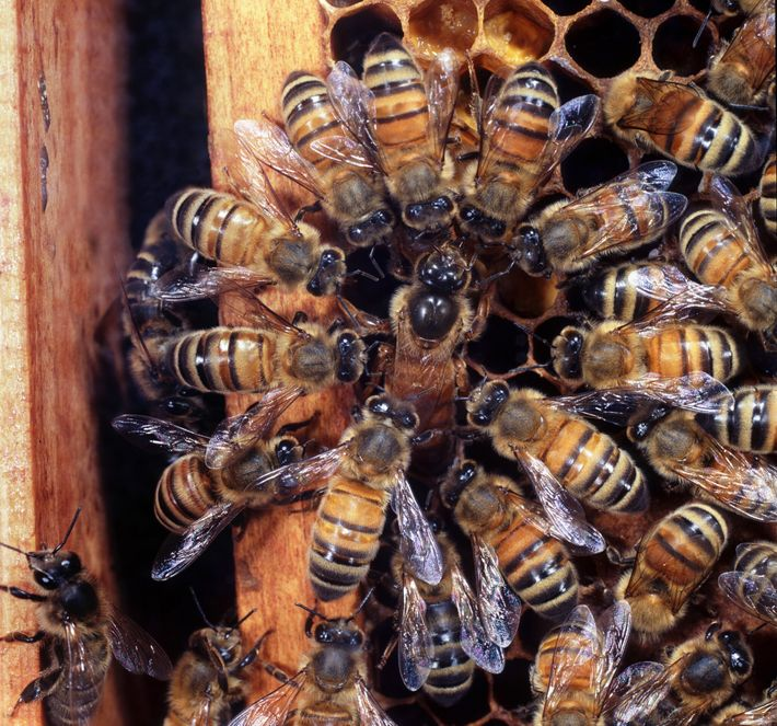 Worker bees surround a honeybee queen as she lays her eggs in a colony in the ...