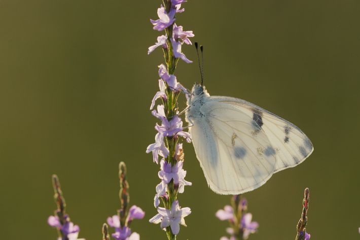 A checkered white butterfly (Pontia protodice) feeds on Texas vervain.
