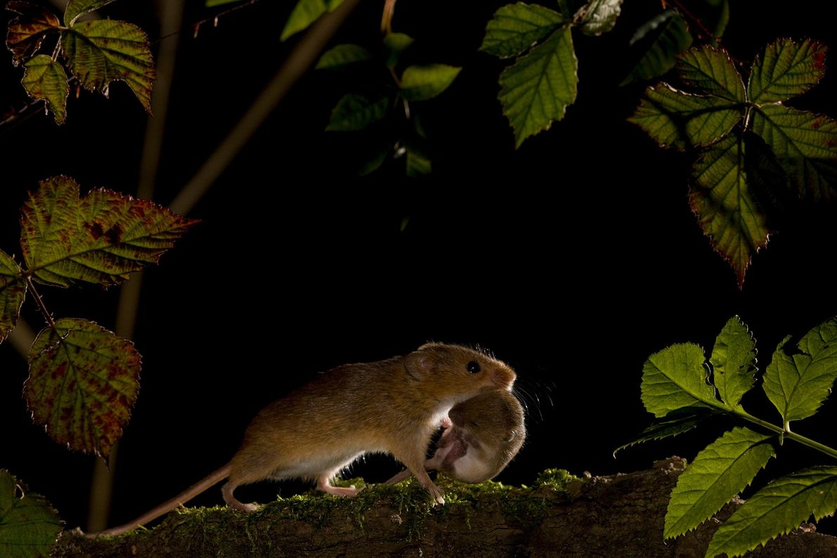 The Eurasian harvest mouse is a common sight in fields and farms from the British Isles ...