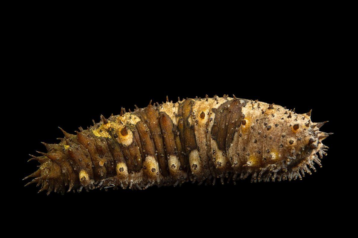 A sea cucumber (Holothuroidea) at the Loveland Living Planet Aquarium.